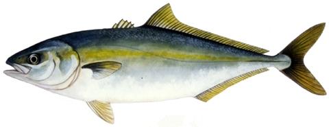 ブリのイラスト 巻き網・定置網・釣り成長段階で呼び名が変わる出世魚で、関西ではモジャコ、...